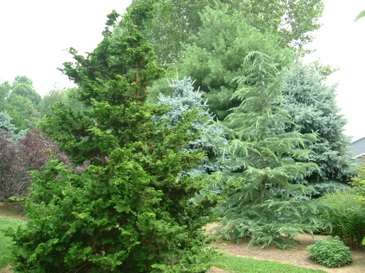 Ornamental evergreen trees - Hill Side Plantings Mixed Evergreens